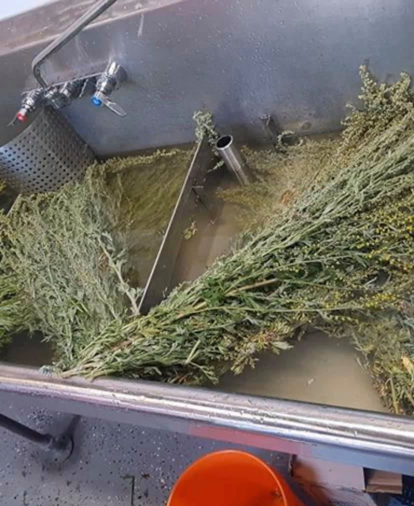 Maceration process - Harvesting Wormwood for Absinthe