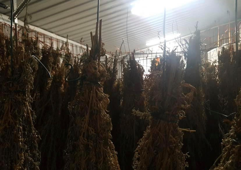 Drying process - Harvesting Wormwood for Absinthe