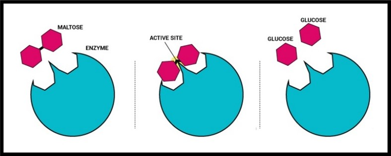 Enzyme model